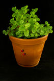 Mint bush in a flowerpot Royalty Free Stock Image