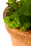 Mint bush in a flowerpot Stock Photography