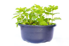 Mint bush in a flowerpot - Stock Image Stock Photography