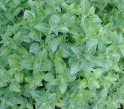 Mint bush Royalty Free Stock Image