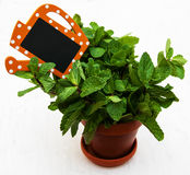 Mint in a clay pot. With a empty wooden label on a wooden background Stock Image
