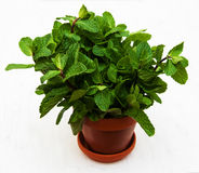Mint in a clay pot. On a old wooden background Royalty Free Stock Image