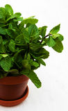 Mint in a clay pot. On a old wooden background Stock Photo