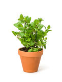 Mint in a clay pot Stock Image