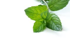 Mint close-up. Fresh mint leaves on white background royalty free stock image