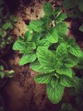 Beautiful bush of mint that gives a great smell to your tea Stock Photos