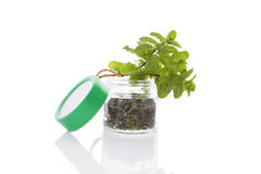 Mint, culinary aromatic herbs. Royalty Free Stock Photo