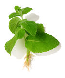 Mint cutting isolated Royalty Free Stock Photo