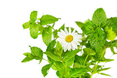 Mint and daisy flower Royalty Free Stock Photography