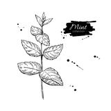 Mint  drawing.  mint plant with leaves. Herbal Stock Image