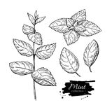 Mint  drawing set. Isolated mint plant and leaves. Herbal Royalty Free Stock Photography