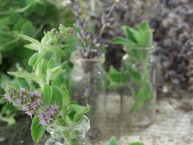 Mint and dry lavender Stock Image