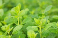 Mint field Stock Photos