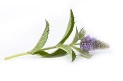 Mint flower Stock Photo