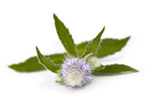 Mint Flower Stock Image