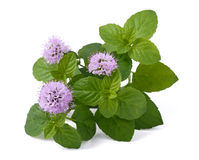 Mint with flowers Stock Images