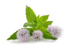 Mint flowers Stock Photos