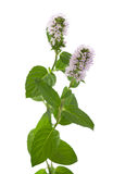 Mint flowers Royalty Free Stock Image
