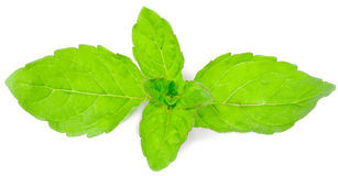 Mint. Fresh green mint leaf isolated on elom background Royalty Free Stock Images