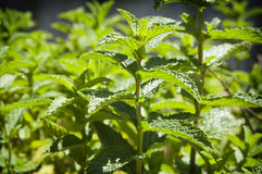Mint Garden Royalty Free Stock Photo