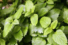 Mint in the garden Royalty Free Stock Images