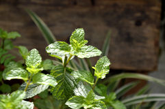 Mint in the garden Royalty Free Stock Photos
