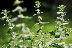 Mint. In the garden. Summer time Stock Photo