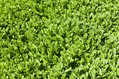Mint green field, spearmint Royalty Free Stock Image