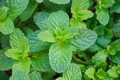 Mint green. In the garden stock photo