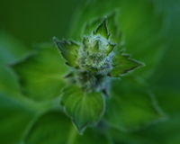 Mint. Green garden mint  top view close-up Royalty Free Stock Image