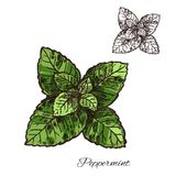 Mint green leaf sketch of peppermint or spearmint. Mint leaf sketch of peppermint or spearmint green branch. Mint spice herb and aroma plant for food and drink Stock Image