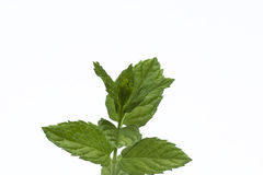 Mint. Green mint leafs on a white background Stock Images