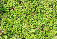 Mint. Green Mint leave in nature Royalty Free Stock Images