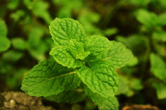 Mint. Green mint leaves in a garden Royalty Free Stock Photo