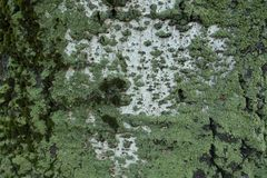 Mint green lichen and moss covering white poplar bark. Mint green lichens and moss covering white poplar bark stock photos