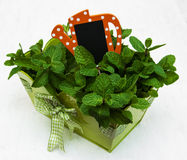 Mint in a green pot Stock Photo