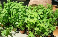Free Mint Growing Fresh Stock Photos - 2663243