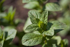 Mint. Growing in the garden Royalty Free Stock Photos