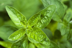 Mint, growing herbs Stock Images
