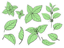 Mint hand sketch vector illustration. Peppermint engraved drawing of menthol leaves isolated on white background. Leaf herbal spearmint plant Royalty Free Stock Photos