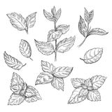 Mint hand sketch vector illustration. Peppermint engraved drawing of menthol leaves  on white background Stock Photos