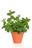 Mint Herb Stock Photos