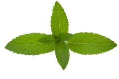 Mint Herb. On white background royalty free stock photo