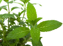 Mint Herb. In the garden after rain royalty free stock photography