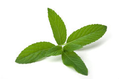 Mint herb. On white background royalty free stock images