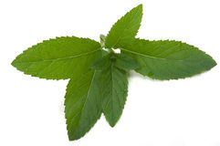 Mint Herb Royalty Free Stock Image