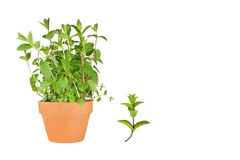 Mint Herb. Herb mint growing in a terracotta pot with specimen leaf sprig, over white background stock photo