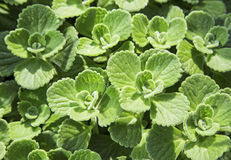 Mint herb flora background wallpaper Royalty Free Stock Images