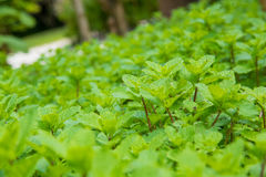 Mint herb growing. Mint herb in the garden Royalty Free Stock Photography