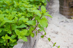 Mint herb. Growing in the garden Royalty Free Stock Image